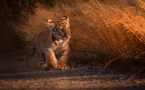 Picture GRASS, TIGER, PAINTING, BABY, ТИГРЁНОК
