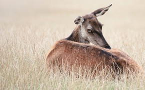 Picture field, grass, look, face, pose, stay, glade, deer, lies, fawn