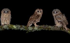 Picture birds, branch, three, black background, owls, trio
