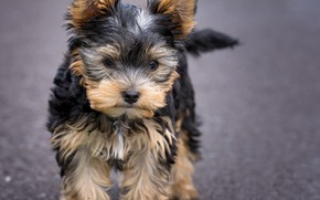 Wallpaper look, dog, muzzle, cute, puppy, puppy, dog, cute, Yorkshire Terrier, small, Yorkshire Terrier