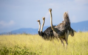 Picture Tanzania, african ostrich, Tarangire Nation Park, birds of africa