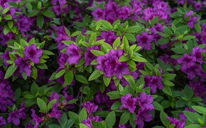Picture leaves, flowers, Bush, spring, purple, flowering, a lot, lilac, Azalea, rhododendrons
