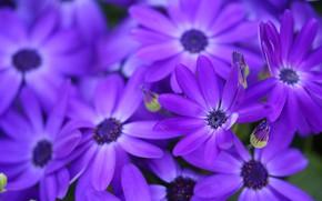 Picture macro, petals, purple, Osteospermum