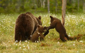 Picture greens, forest, summer, grass, look, nature, pose, glade, the game, bear, bears, three, bear, bears, …