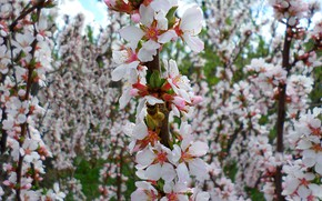 Picture bee, may, Chinese cherry