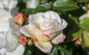Picture flowers, roses, flowering