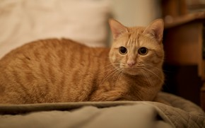 Picture cat, cat, look, face, red, bed, lies, big eyes