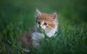 Picture grass, baby, muzzle, kitty, bokeh