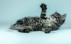 Picture cat, look, pose, kitty, grey, background, blue, legs, paws, baby, lies, kitty, striped, photoshoot