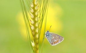 Picture summer, macro, yellow, green, background, butterfly, rye, insect, grey, spike, cereal