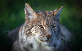 Picture look, face, light, nature, green, background, dark, portrait, lies, lynx, wild cat, young, bokeh, a …