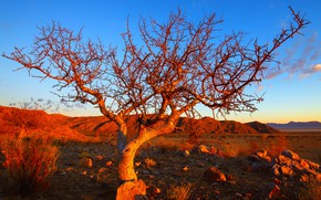 Picture tree, Namibia, Solitaire