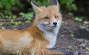 Picture nature, animal, Fox, Fox, Юрий Кулаков