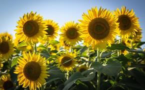 Picture summer, light, sunflowers, flowers, yellow, a lot, sunflower, blue sky, field of sunflowers