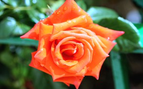 Picture flower, leaves, drops, macro, background, rose, orange, Bud