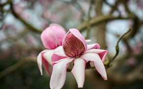 Picture flower, macro, flowers, branches, background, spring, pink, buds, flowering, bokeh, Magnolia