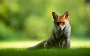 Picture grass, look, face, light, nature, pose, green, background, glade, portrait, Fox, red, sitting, Fox, bokeh, …