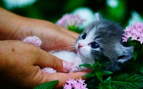 Picture flowers, hands, baby, muzzle, kitty, baby, Munchkin