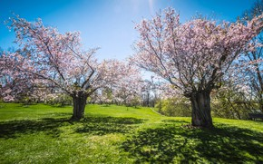 Picture greens, the sky, light, trees, flowers, branches, spring, garden, Sakura, may, shadows, flowering, lawn, spring