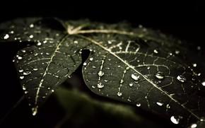 Picture drops, macro, sheet, Rosa