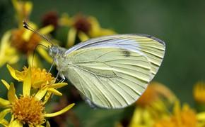 Picture flower, butterfly, belyanka