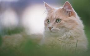 Picture cat, grass, cat, look, muzzle, bokeh, cat