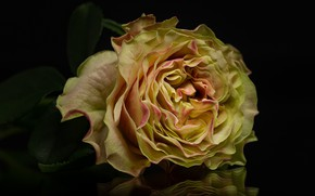 Picture yellow, reflection, rose