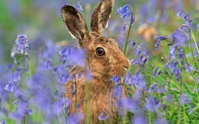 Picture look, face, flowers, grey, glade, hare, portrait, blue, ears, bells, Bunny