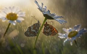 Picture macro, butterfly, flowers, insects, nature, rain, chamomile, bokeh, Roberto Aldrovandi