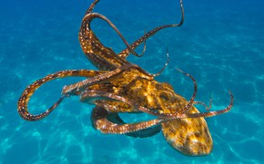 Picture sea, water, light, octopus, underwater world, under water, blue background, swimming