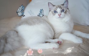 Picture cat, look, lies, bed, flowers, blue eyes, treatment, pillow, collage, light background, stars, butterfly, ragdoll, …