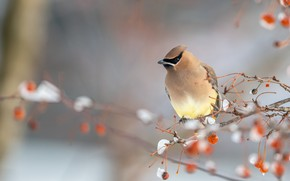 Picture winter, snow, branches, berries, bird, fruit, red, grey background, the Waxwing