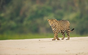 Picture look, Jaguar, wild cat, bokeh
