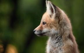 Picture background, portrait, Fox, profile, cub, face, bokeh, Fox