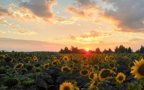Picture field, summer, the sky, sunflowers, landscape, sunset, nature