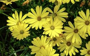 Picture flowers, yellow, garden, a lot, osteospermum