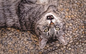 Picture road, cat, cat, look, face, pebbles, stones, grey, background, mouth, fangs, lies, striped, teeth, blurred