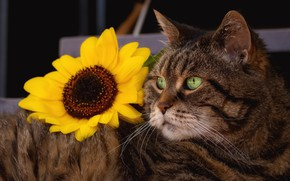 Picture cat, flower, cat, look, face, pose, grey, sunflower, lies, striped