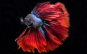 Picture colors, red, blue, fish, black background, Betta