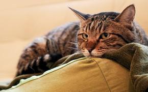 Picture cat, cat, look, face, grey, portrait, lies, pillow, plaid, unhappy, striped