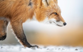 Picture face, background, Fox, red