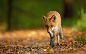 Picture autumn, forest, look, face, leaves, nature, green, background, foliage, Fox, red, walk, is, Fox, bokeh