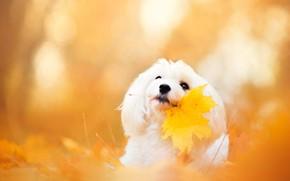 Picture autumn, face, leaves, yellow, background, leaf, portrait, dog, white, lapdog, bokeh, Golden autumn, maple