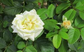 Picture Bud, white rose, Meduzanol ©, summer 2018