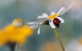 Picture flower, macro, background, ladybug, beetle, blur, Daisy, insect