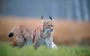 Picture grass, look, face, nature, pose, glade, walk, lynx, sneaks, blurred background