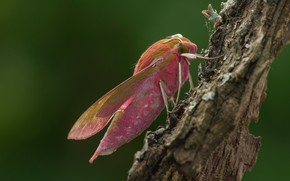 Picture macro, green, background, tree, pattern, pink, butterfly, profile, insect, bark, wings, hairy, fat