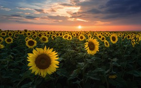 Picture field, sunflowers, landscape, flowers, nature, Russia, field of sunflowers