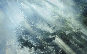 Picture forest, rays, light, trees, branches, nature, morning