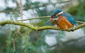 Picture branches, bird, branch, bird, sitting, needles, bokeh, blurred background, Kingfisher, bright plumage, blue with orange …